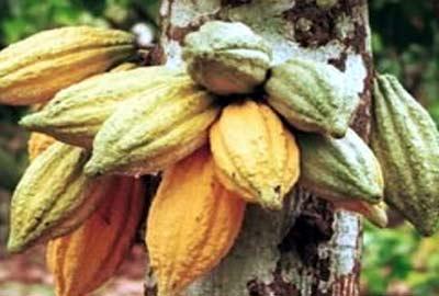 Agribusiness: C'River govt targets 5, 000mt of cocoa per annum