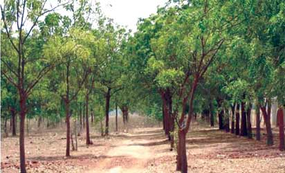 We Use Neem Trees To Combat Desertification And Create