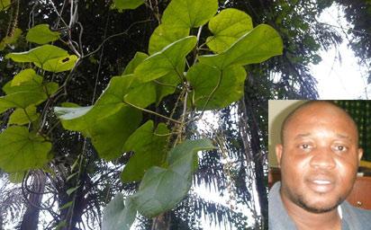Chasmanthera dependens  (Ato in Yoruba). Inset: Mr Iloh