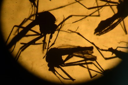 This file photo taken on February 03, 2016 shows Aedes aegypti mosquitos are photographed in a laboratory at the University of El Salvador, in San Salvador.  AFP