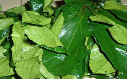Consumption of `Ugwu leaves' improves fertility in men, women, says