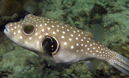 Puffer fish, also known as puffer, swellfish, fugu, globefish or sea squad contains the potent and deadly toxins tetrodotoxin and saxitoxin, which could cause severe illness and death