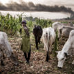 Herders/ Farmers conflict: CDD to support Nasarawa, Benue, Plateau