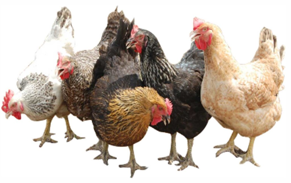 NDE begins poultry training for 50 youths in Delta