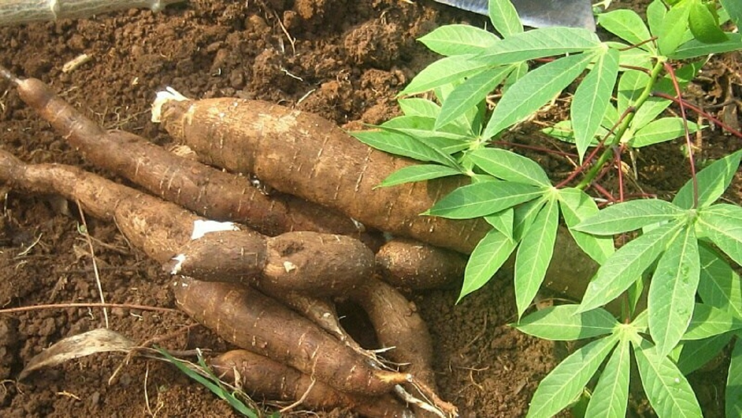 FG moves to adopt efficient technology in cassava production