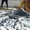 Nigeria losing over N400bn annually from fish imports — Lawmaker