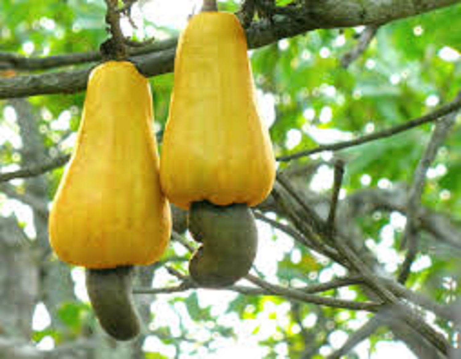 Cashew value chain receives boost as FG, US sign MoU to increase productivity