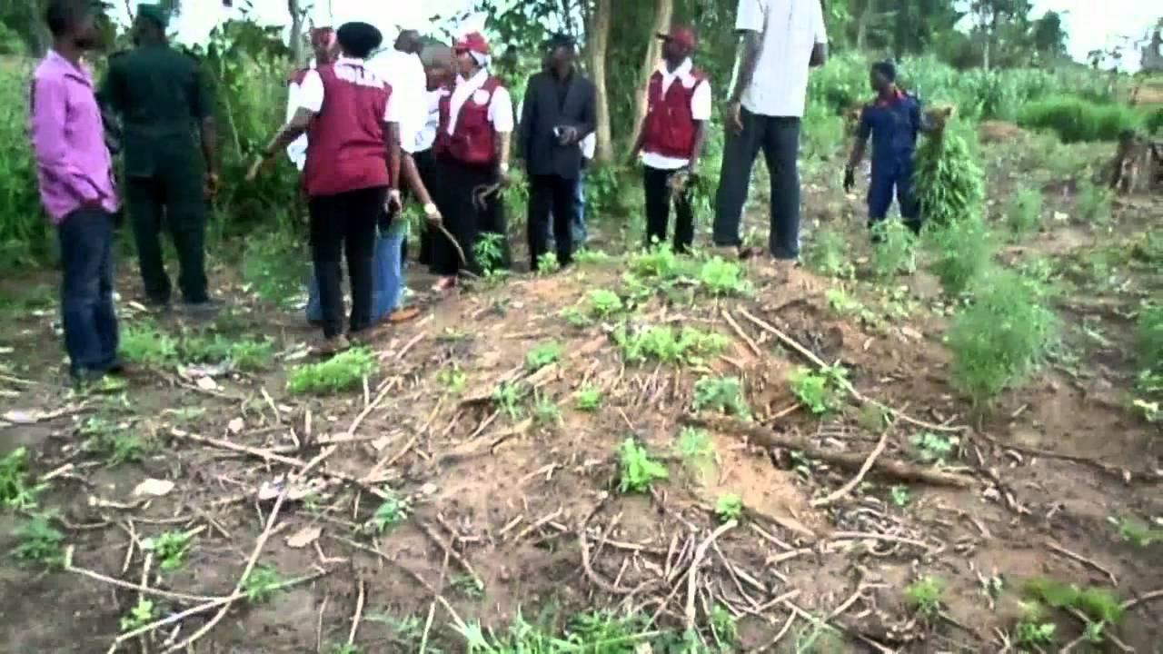 NDLEA, Hemp farm, Oyo