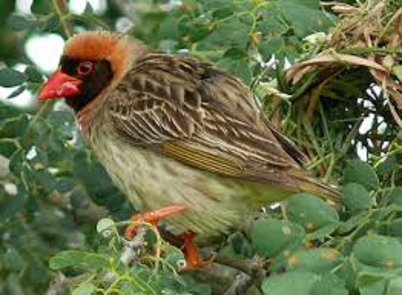 Quelea birds : FG commences aerial spray in Jigawa