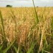 APPEALS, ABU introduce improved rice seeds to farmers in Kano state