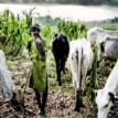 Enugu farmers 'living in fear', as herdsmen take over farmlands