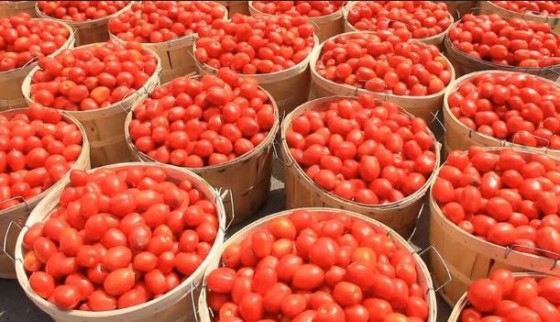 Olam's pilot farming project to boost  tomato value chain