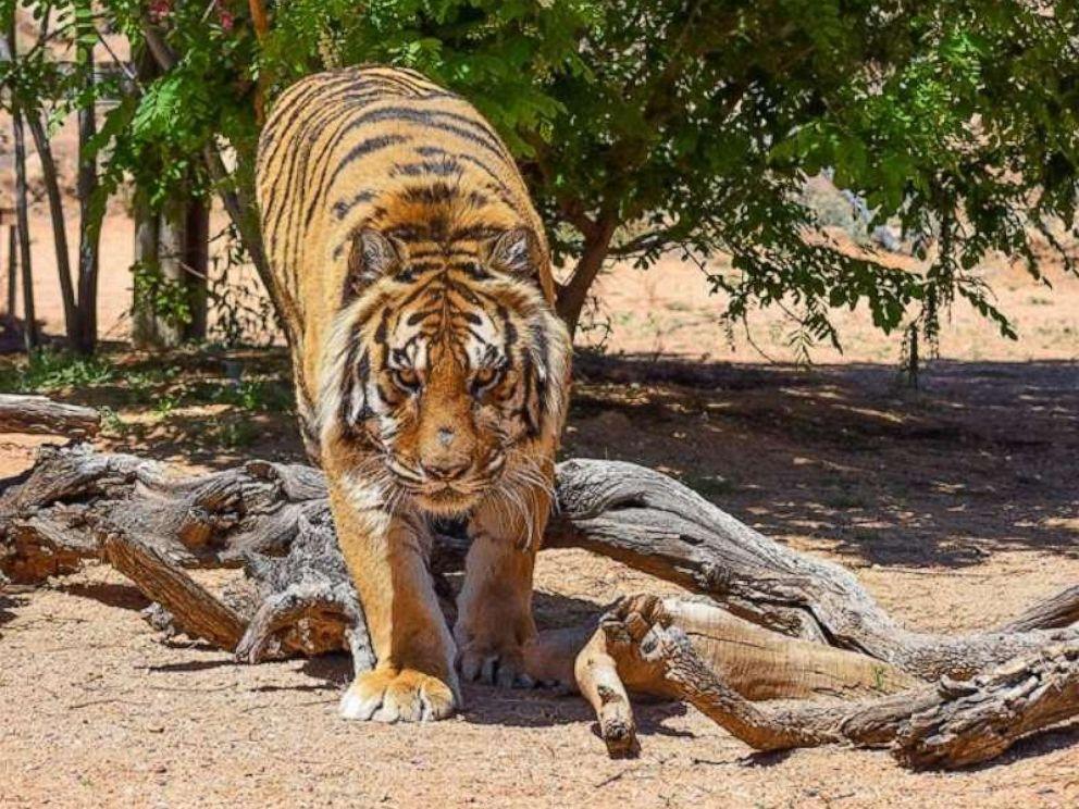 Tiger, Conservationist