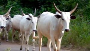 Court remands herdsman over alleged conversion of 22 live cows belonging to a professor