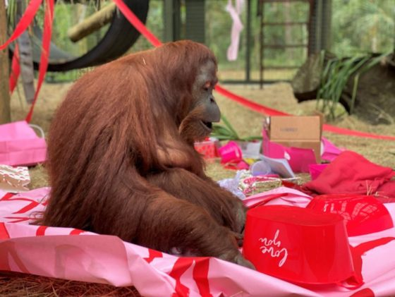 Orangutan granted 'personhood' turns 34 on Valentine's Day