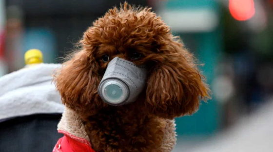 Hong Kong pets face coronavirus quarantine after dog tests positive