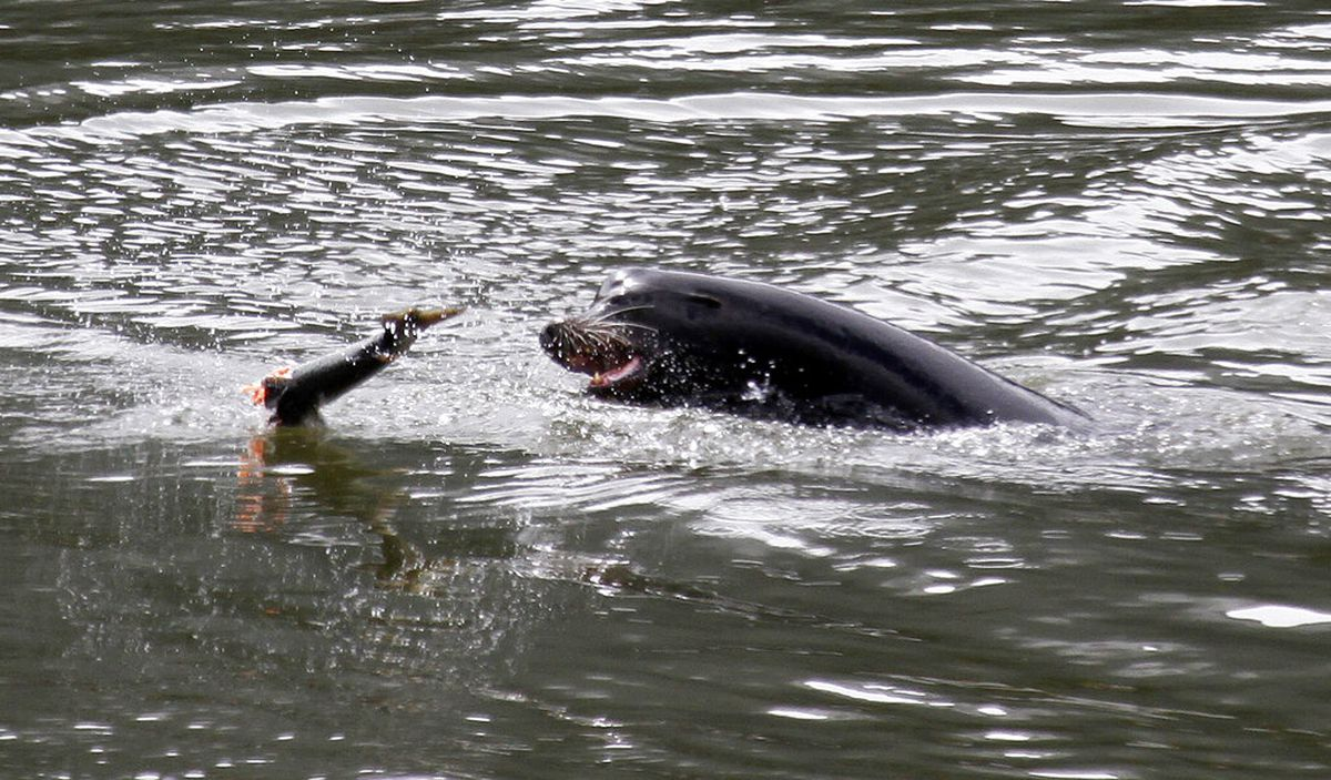 Hundreds of sea lions to be killed in effort to save endangered fishes
