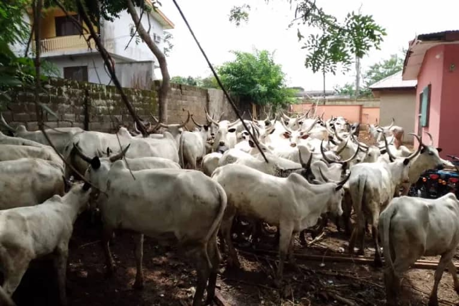 Keeping cattle in the North for peace