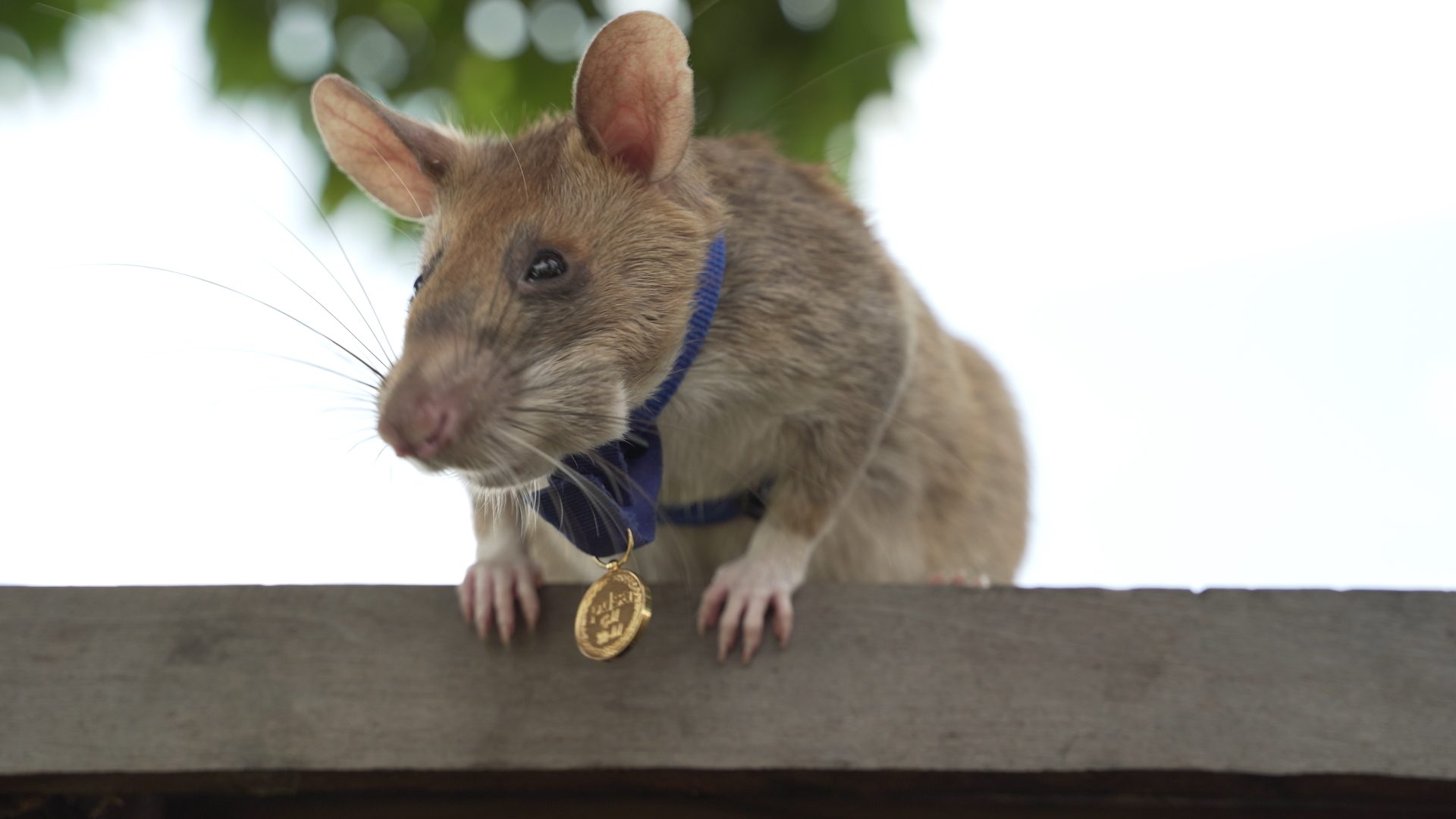 70 die, over 6,000 infected with rat fever in Sri Lanka
