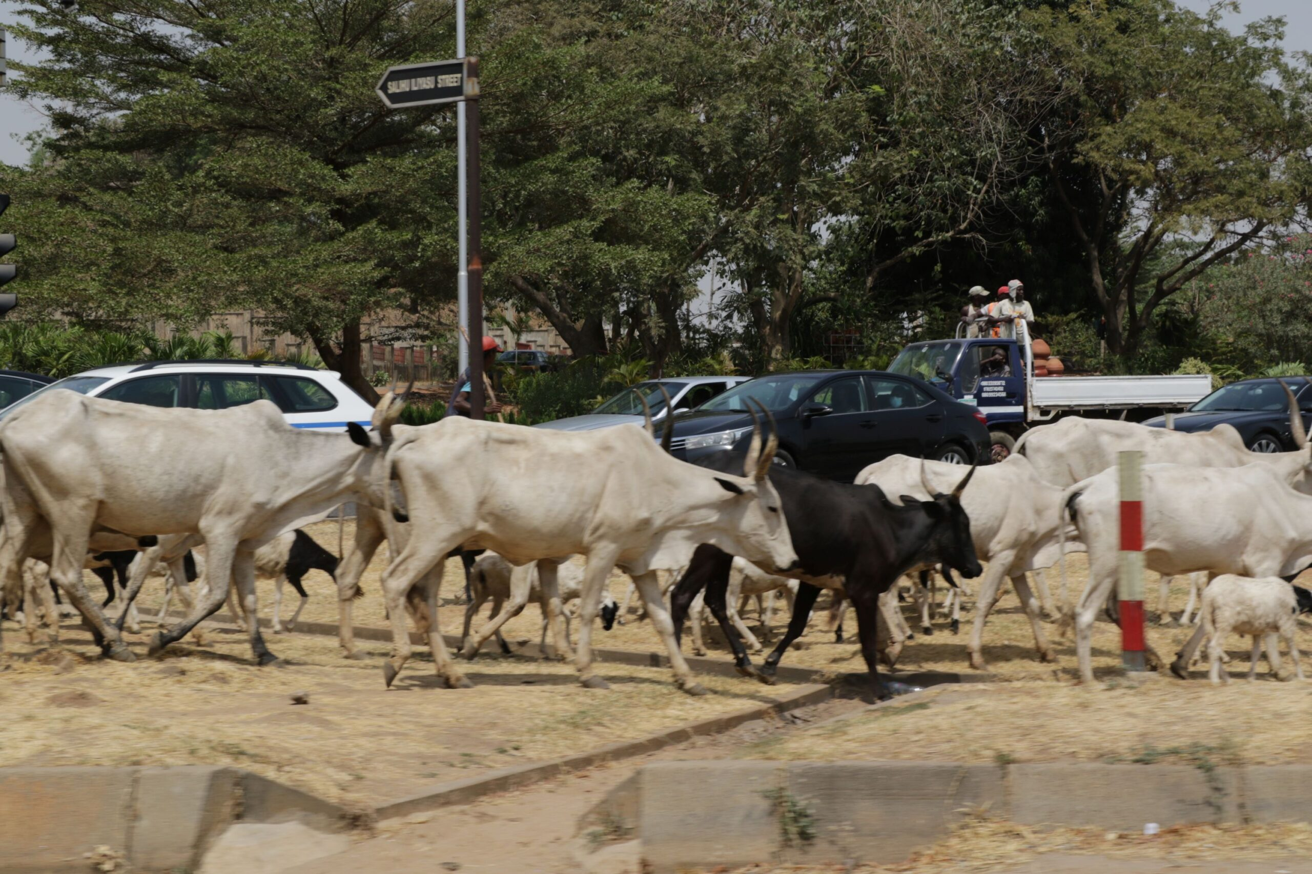 Federal Capital Cows: Cattle, motorists on Abuja road