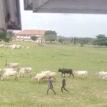 PHOTO: Fulani herdsmen, cows invade premises of FUTO, Owerri